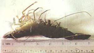 Envirolyte Anwendung ECA Wasser Anolyt Katolyt Fischzucht Garnelle Messung 2