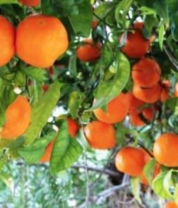 Envirolyte Anwendung ECA Wasser Anolyt Katolyt Spritzmittel Gartenbau Landwirtschaft Orangen