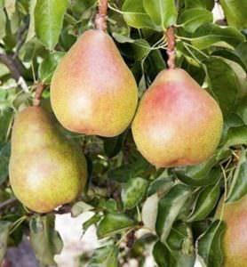 Envirolyte Anwendung ECA Wasser Anolyt Katolyt Spritzmittel Gartenbau Landwirtschaft Birnen 1