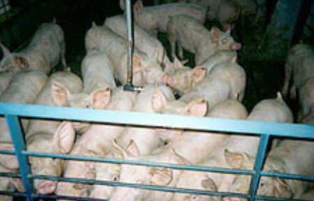 Envirolyte Anwendung ECA Wasser Anolyt Katolyt Schweinehaltung 1